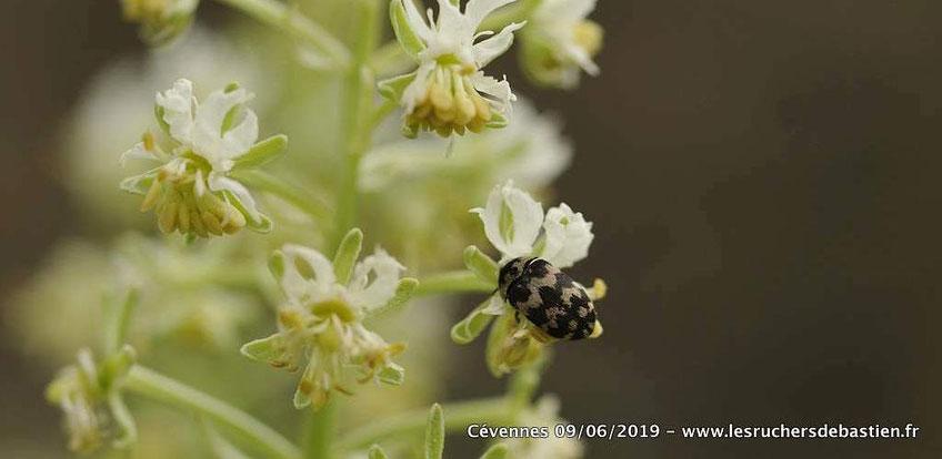 Coleoptere Attagenus trifasciatus sur fleur de Reseda Jacquinii Cévennes