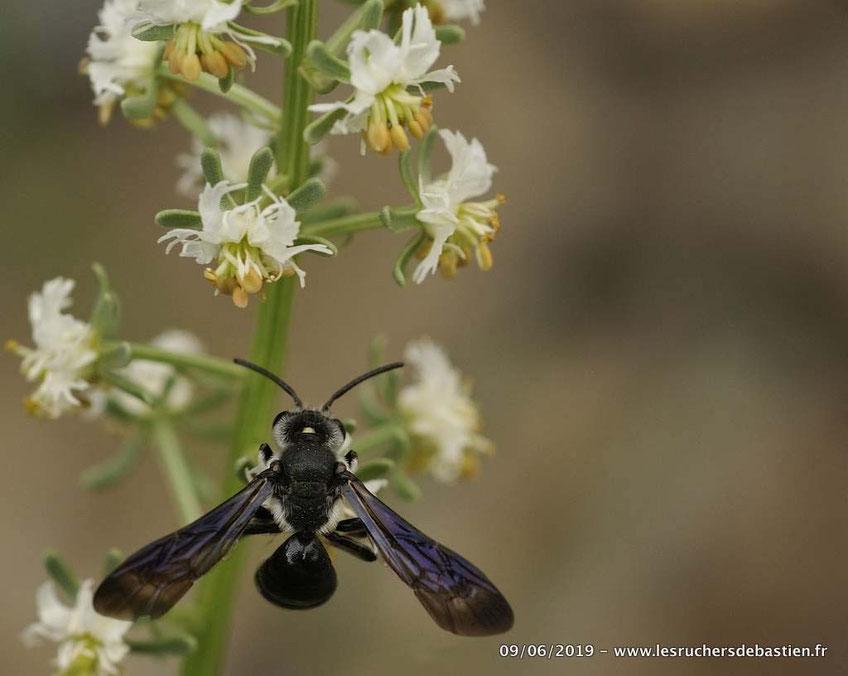Hymenoptere Andrena agilissima butinant le réséda de jacquin dans les Cevennes