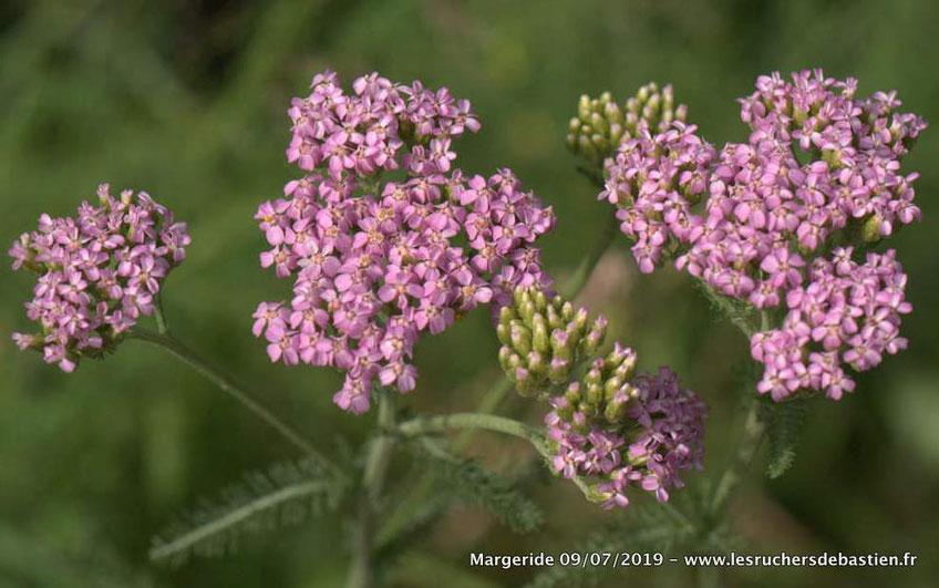 Achillea millefolium Lozere Margeride