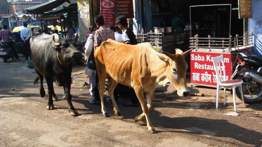 Erfahrungen: Heilige Kühe in Indien, Reiseberichte