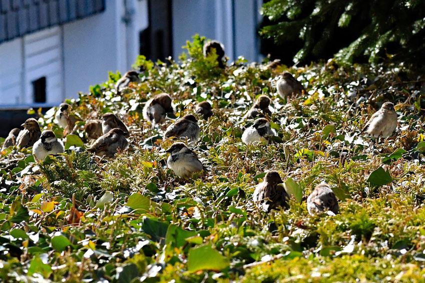 Viele Spatzen sitzen auf einer Hecke in der Sonne.
