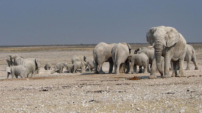 Mehr als 30 Tiere zählten wir manchmal an einem Wasserloch. Man könnte dem grössten Landtier der Welt stundenlang zusehen.