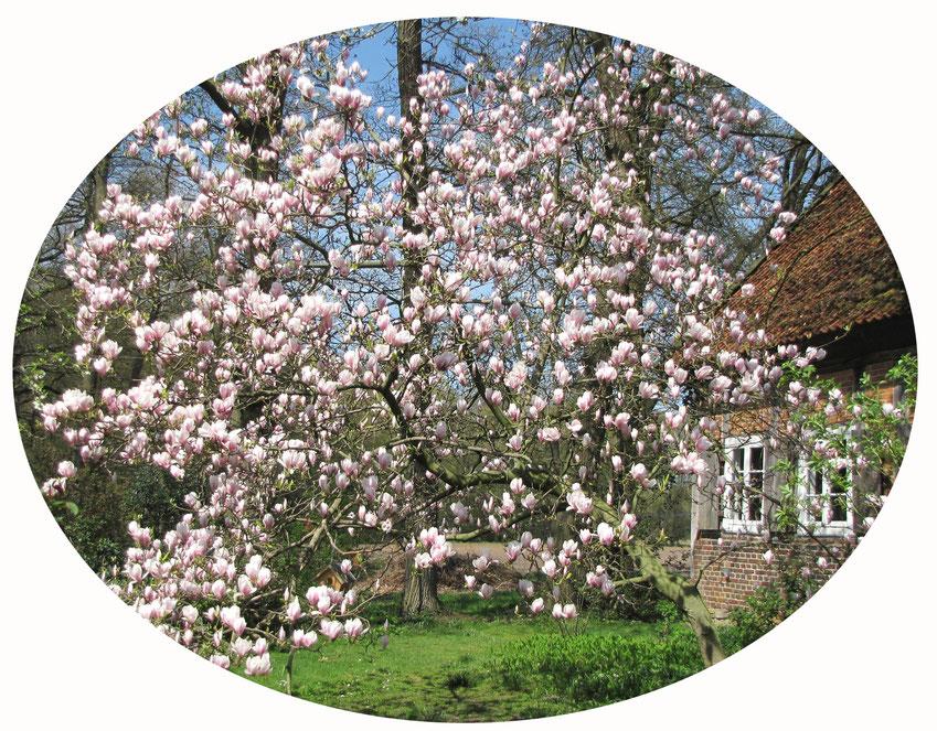 Blühende Magnolie vor dem Haus   © Winfried Haas