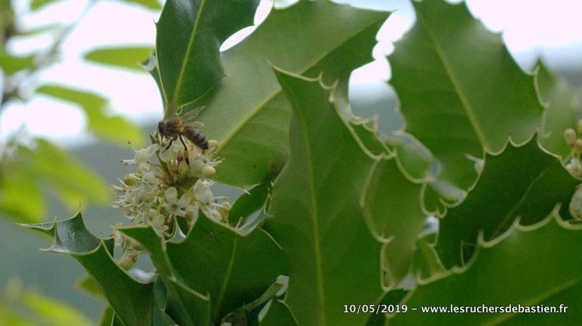 Fleur mâle du houx commun et apis mellifera en train de butiner Cévennes