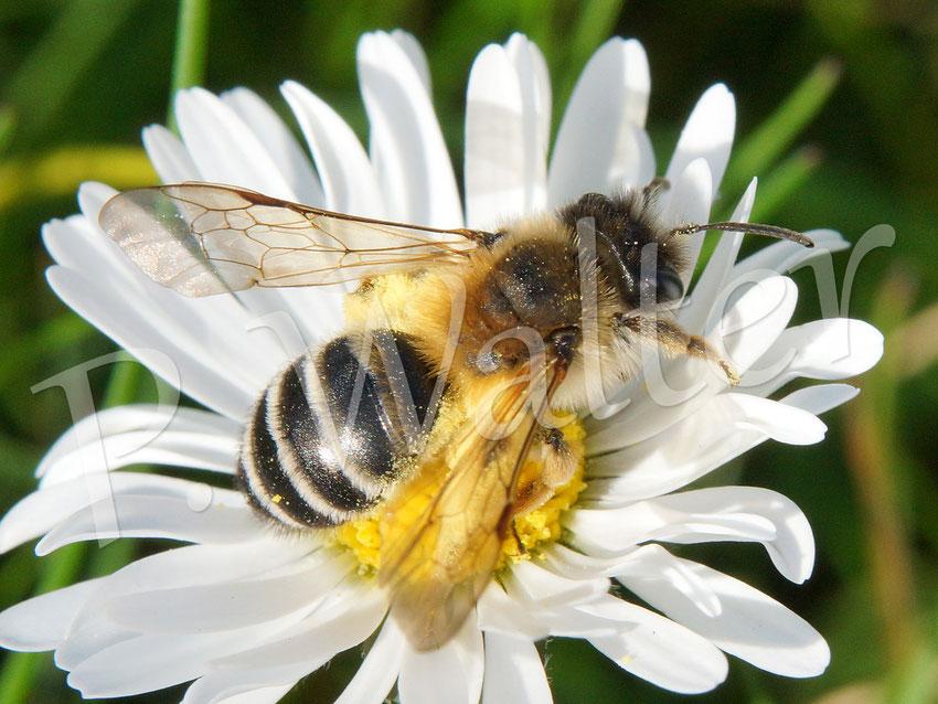 21.04.2016 : Gewöhnliche Bindensandbiene, Weibchen auf einem Gänseblümchen