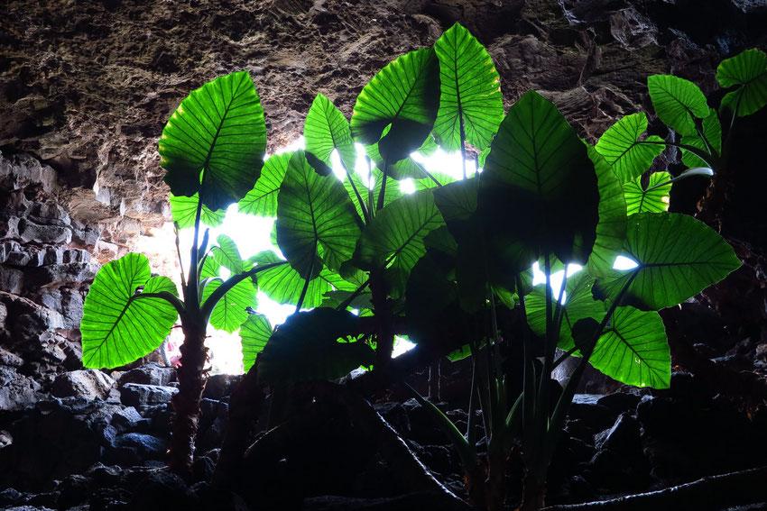Höhlenausgang mit großen Philodendronbüschen