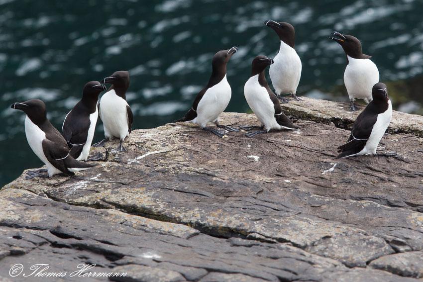 Tordalken auf der Vogelinsel Handa - Schottland
