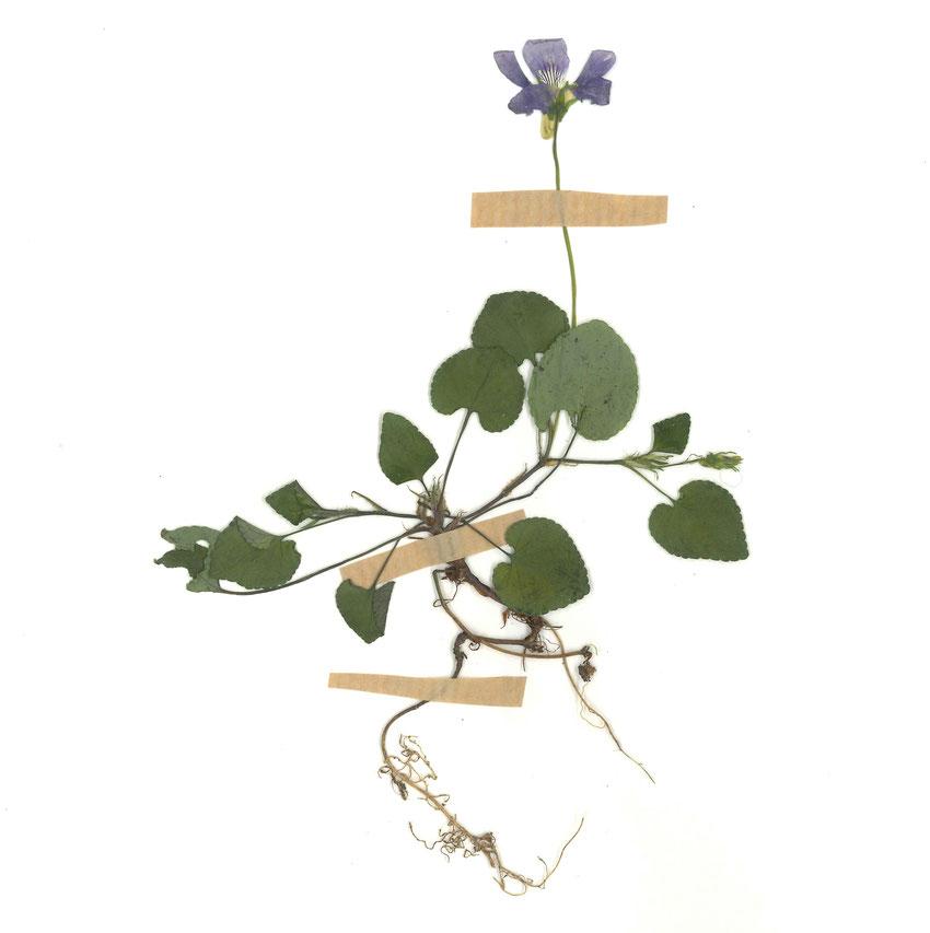 planche d'herbier réalisée par Romane Garesché et Mathis Disant - juin 2021