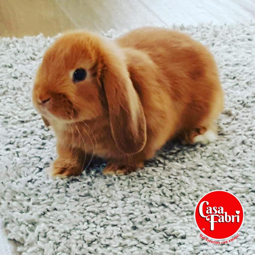 ariete nano siamese minilop mini lop Canazei allevamento conigli nani vendita
