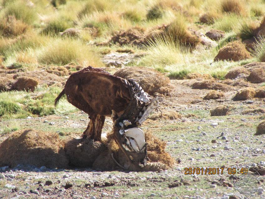 El animal atrapado por el barro pudo haber muerto por frío o hambre.