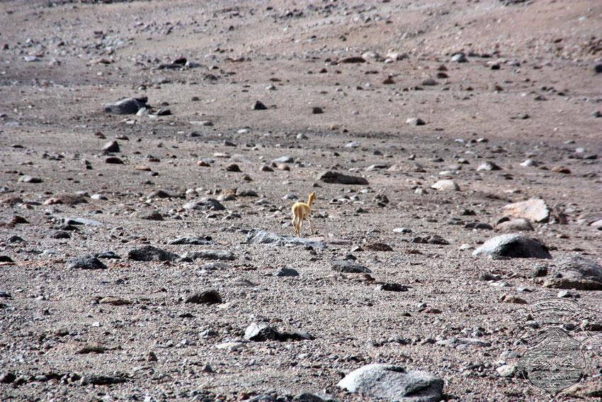 Un solitario bebé de Vicuña, esperando seguramente a su madre, que aparezca desde algún lado.