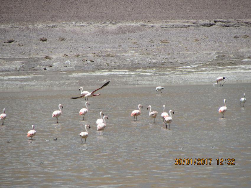Hermosos los flamencos de la laguna Pabellón.
