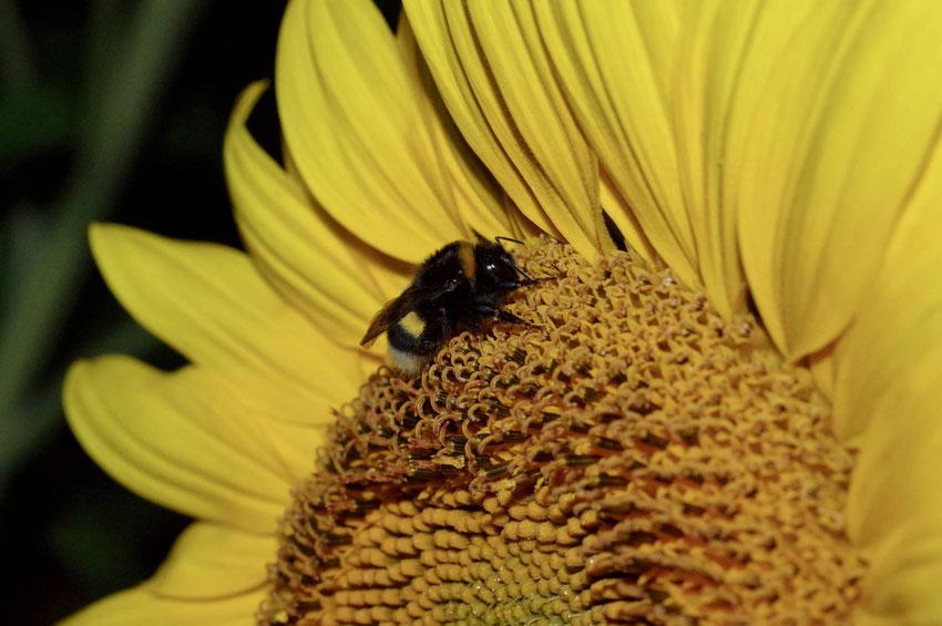 Wildbiene schläft in einer Sonnenblume. SÖDER