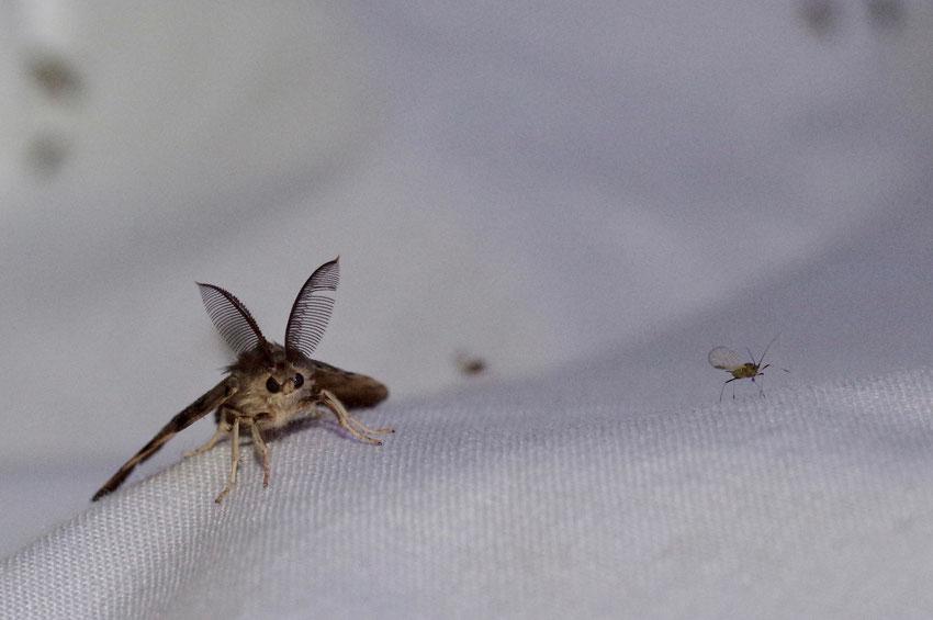 Schwammspinner, Lymantria dispar, Männchen, Christian Söder, naturgeflatter