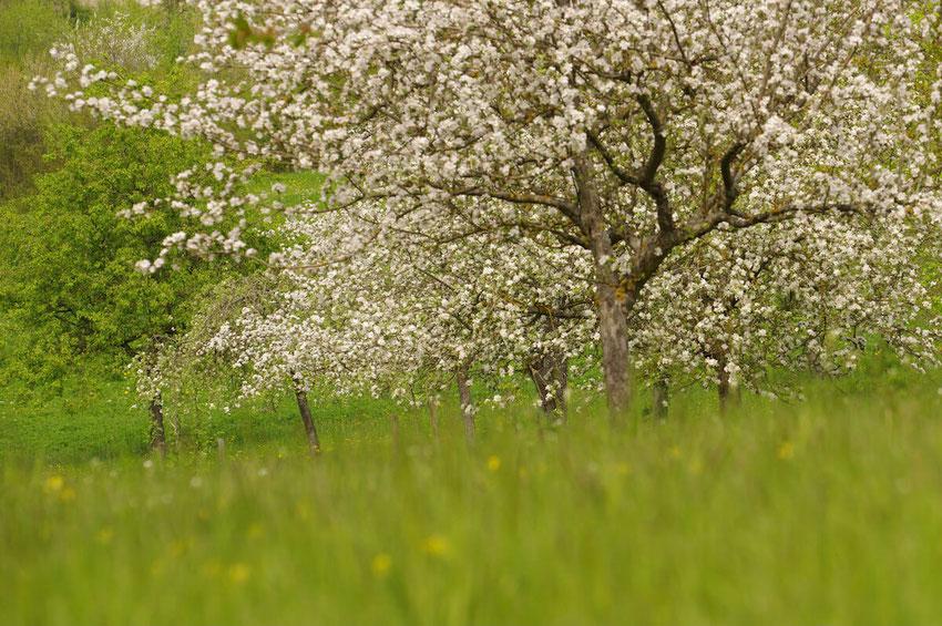 Im Frühjahr blühen die Obstbäume auf der alten Streuobstwiese. Hier findet das Graue Langohr reichlich Beute. Ein Bild von naturgeflatter.