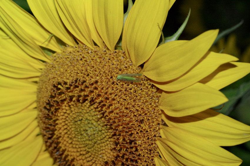 Florfliege ruht in einer Sonnenblume