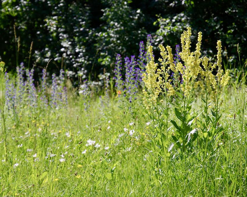 Eine blühende Saumgesellschaft aus Königskerzen, Natternkopf und anderen Wiesenblumen. Ein Bild von naturgeflatter.