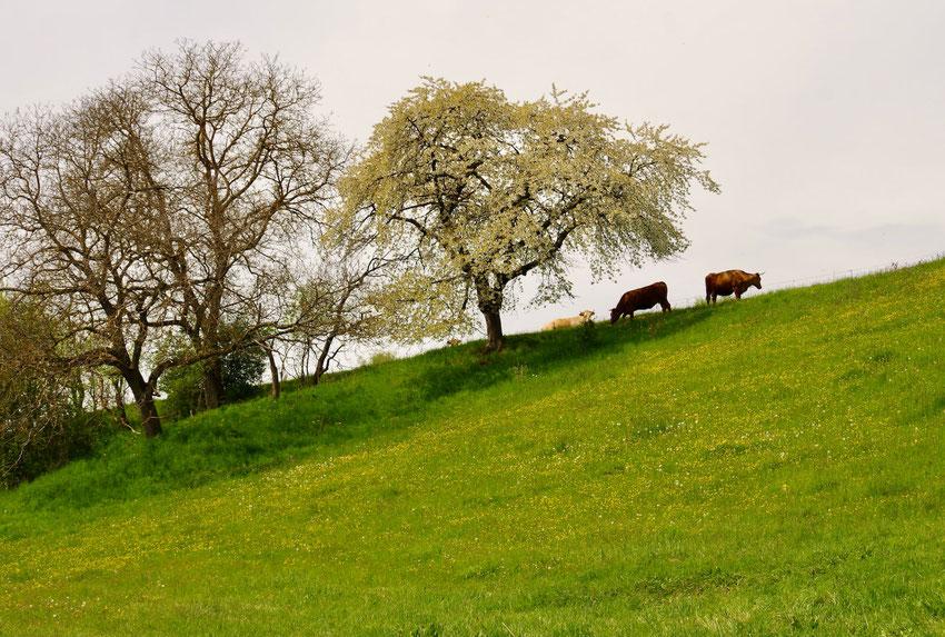 Ein Feldgehölz auf einer Kuhweide in Dorfnähe.
