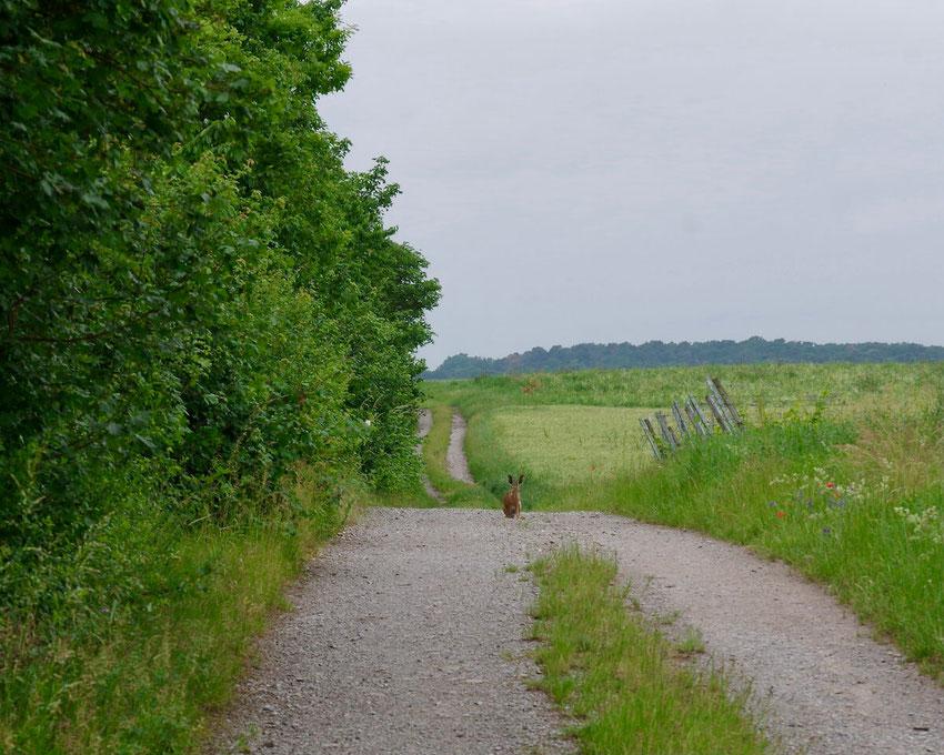 Ein Weg, gesäumt mit blühenden Wildkräutern entlang einer Feldhecke. In der Mitte sitzt ein Feldhase. Ein Bild von naturgeflatter.
