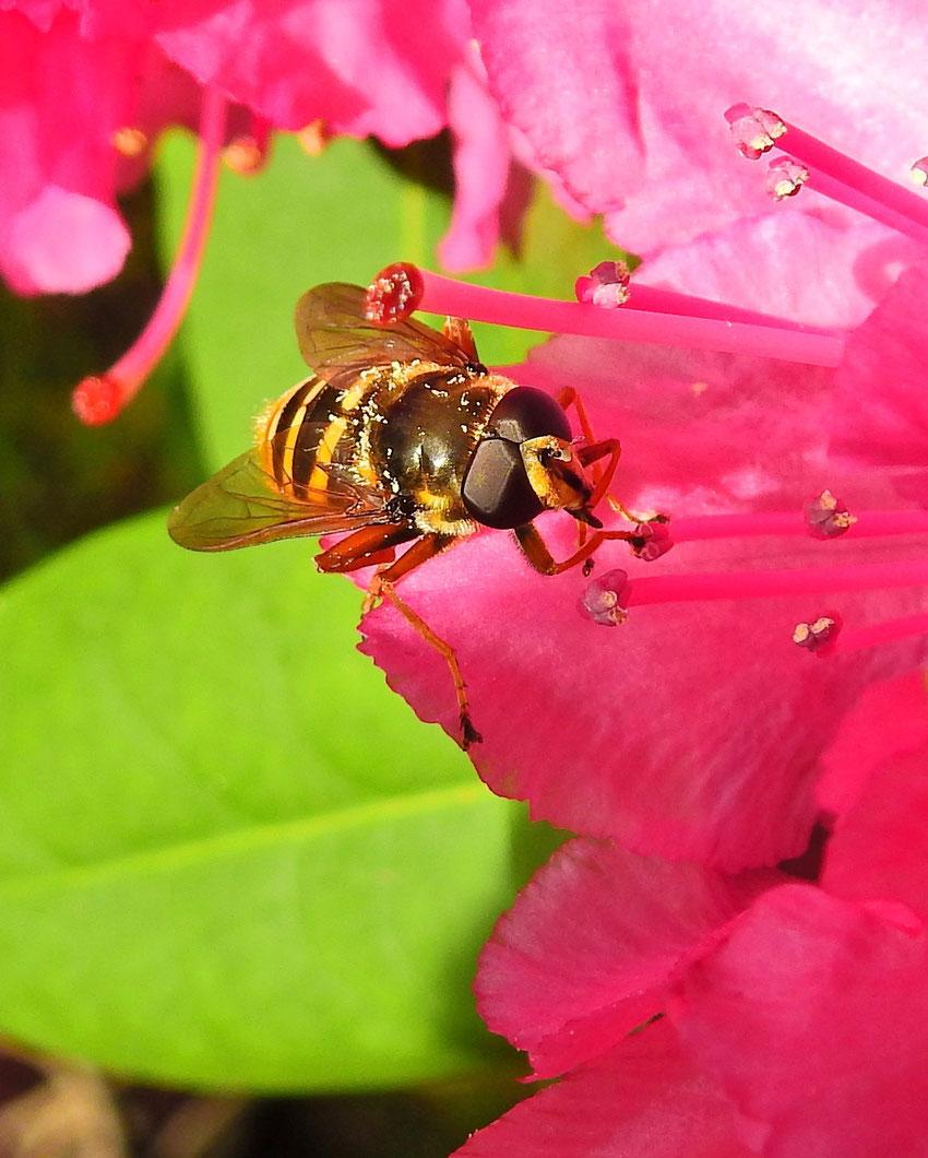 Hainschwebfliege  Episyrphus balteatus Marmalade hoverfly Sabine Rümenap wildes Ostfriesland Insekten Tiere