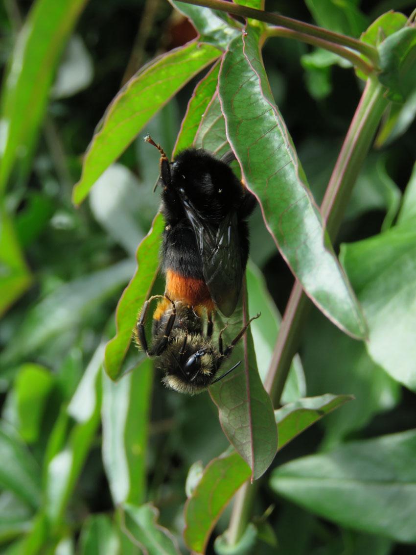 Dunkle Erdhummel - Bombus terrestris - Large earth bumblebee Sabine Rümenap wildes Ostfriesland Tiere