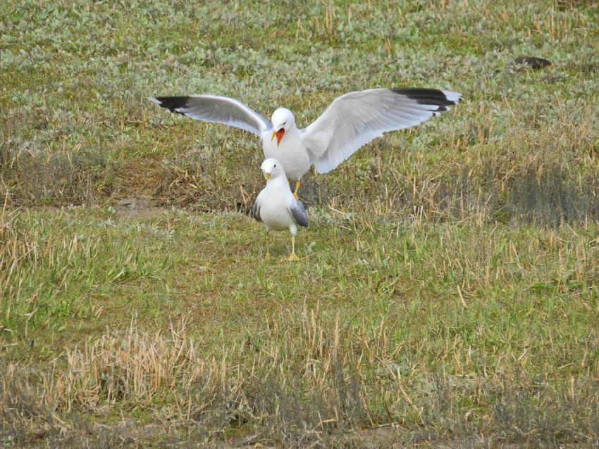 Sturmmöwe Larus canus Sabine Rümenap wildes Ostfriesland Vögel