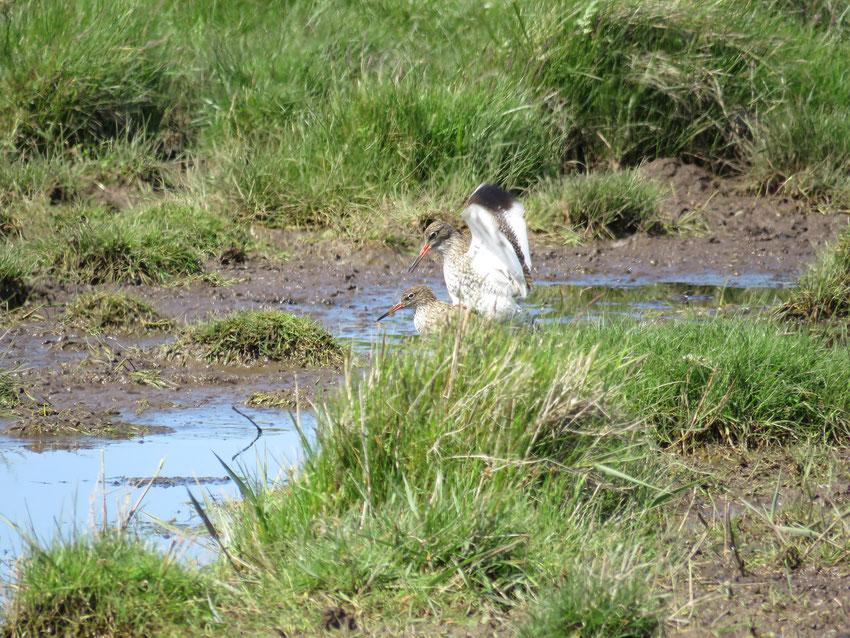 Rotschenkel - Tringa totanus -Redshank Sabine Rümenap wildes Ostfriesland Vögel