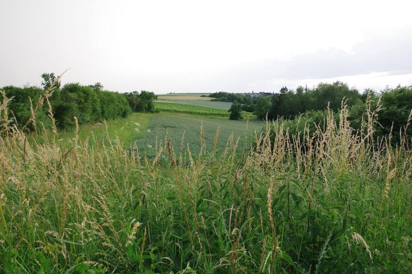 Kleinräumige Felder, unterbrochen von Hecken, bereichert durch einzeln stehende Obstbäume, die Wegränder gesäumt mit Wildblumen.  Ein idealer Lebensraum für das Graue Langohr.