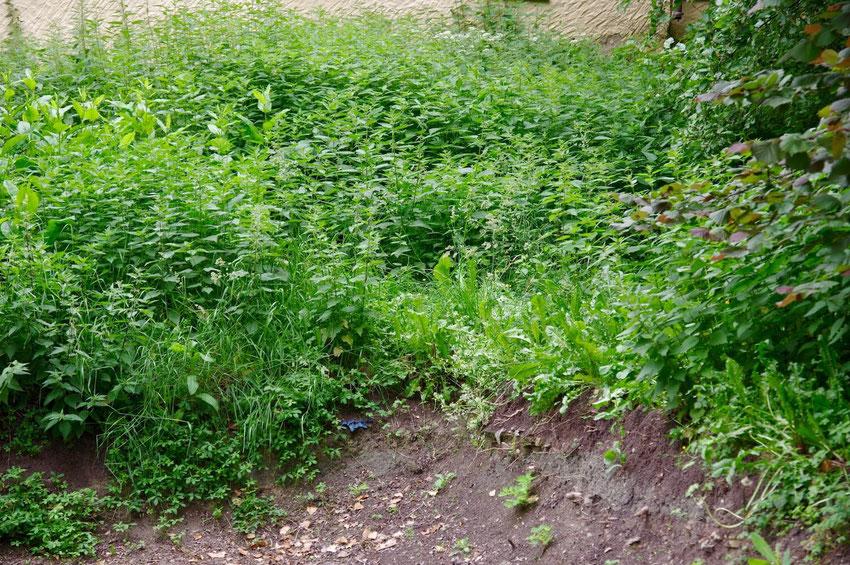 Brennnessel, Knoblauchrauke, offen Bodenstellen. Ein unaufgeräumter Garten - Paradies für Wildbienen und Falter.
