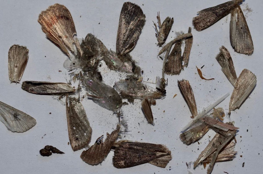 Insektenreste und Kot, was das Graue Langohr so übrig ließ