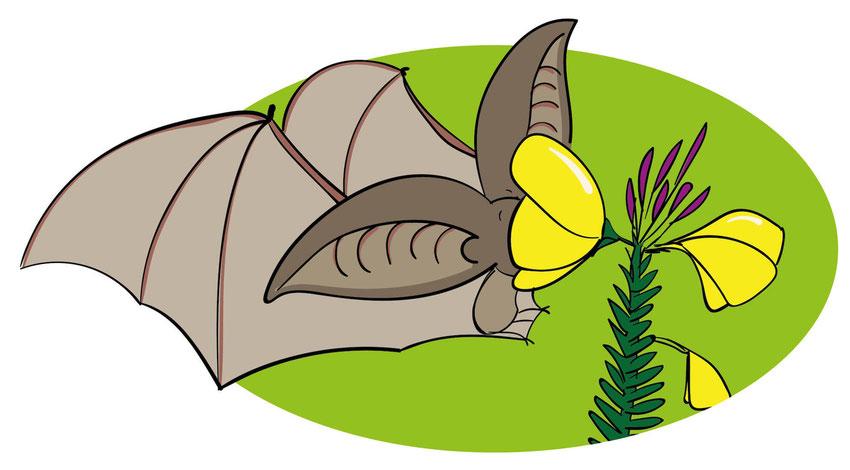 Ein Graues Langohr steckt seinen Kopf in die Blüte einer Nachtkerze um nach Faltern zu suchen.