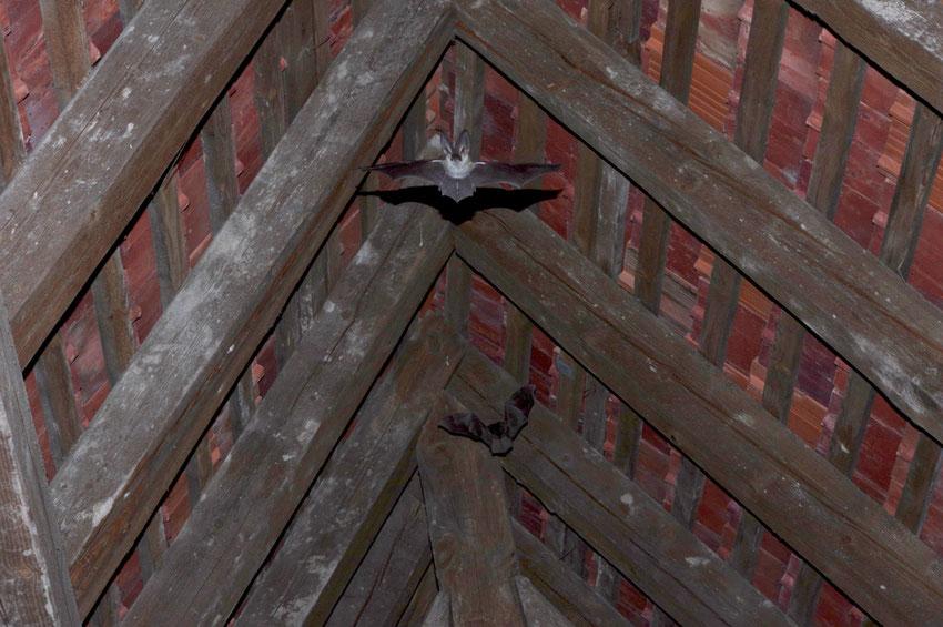 Zwei Graue Langohren flattern unter dem Quartierdach.