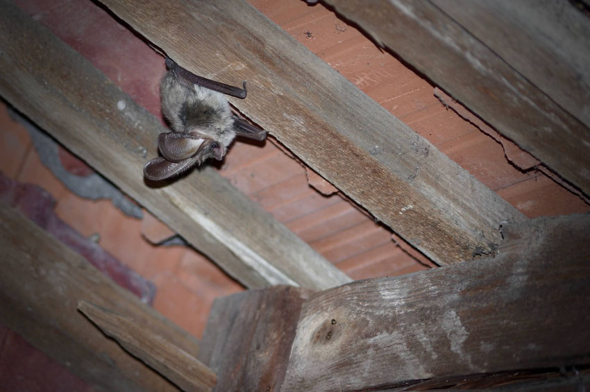 Ein Graues Langohr hängt kopfüber in seinem Quartier unter dem Dach.