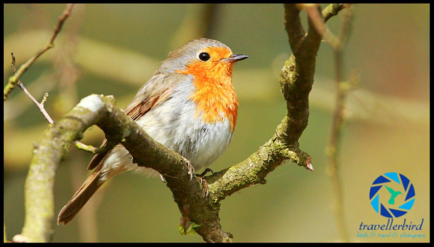 Rotkehlchen Erithacus rubecula European Robin sitting in the evening sun