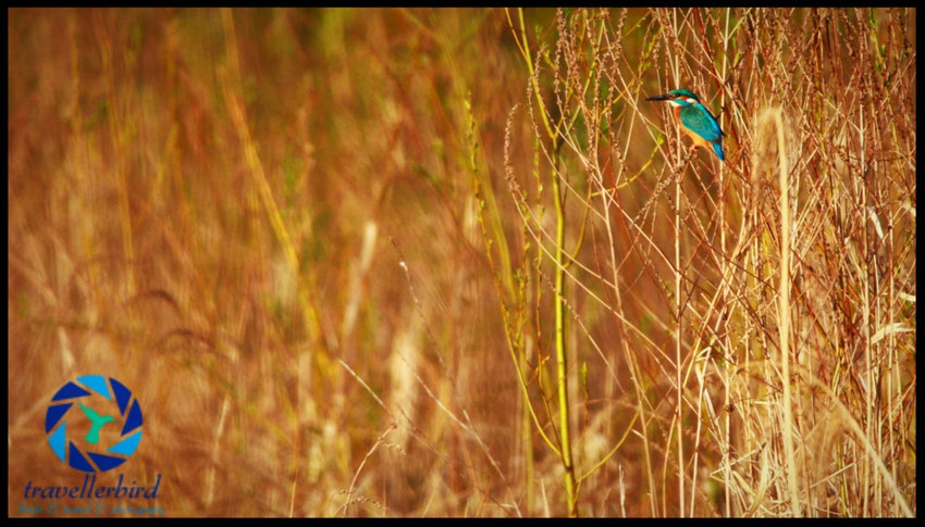 Eisvogel Alcedo atthis Kingfisher Bird Vogel