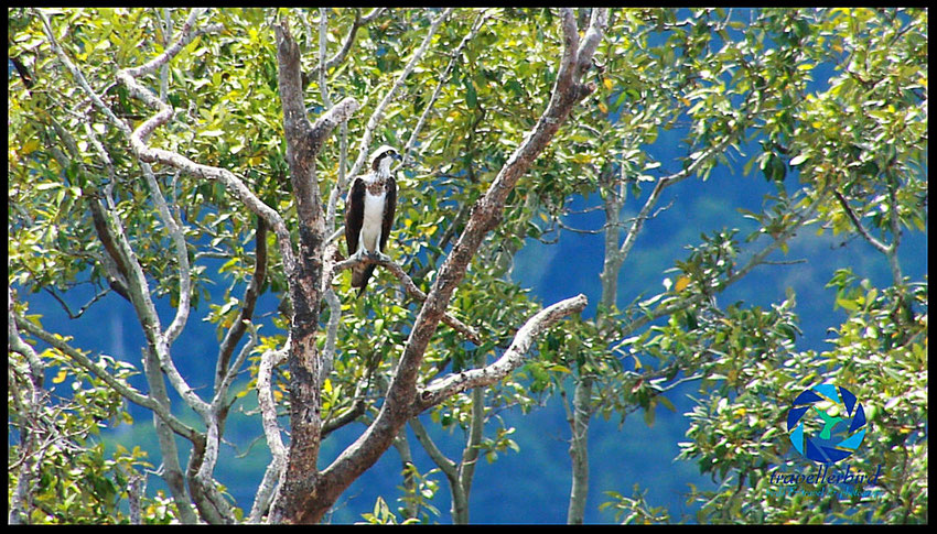 Osprey in Ko Lanta