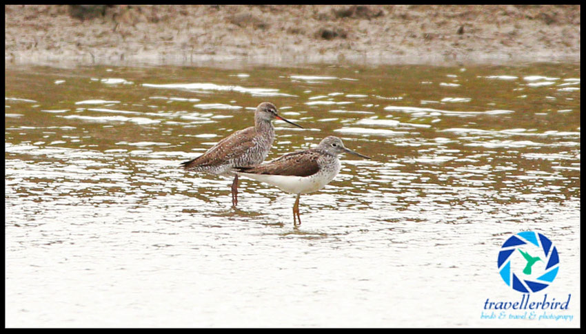 Spotted Redshank with Greenshank