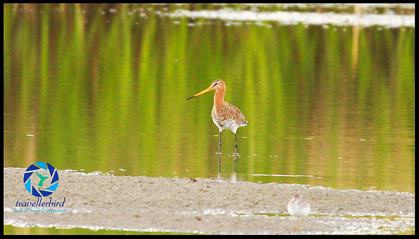 Black-tailed Godwit Uferschnepfe in a lake