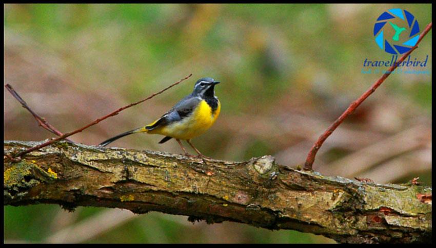 Gebirgsstelze Motacilla cinerea Grey Wagtail Bird Vogel