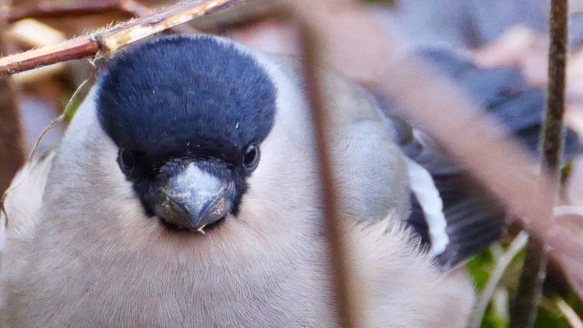 Eurasian bullfinch - Goudvink - Gimpel - Domherre - Pyrrhula pyrrhula