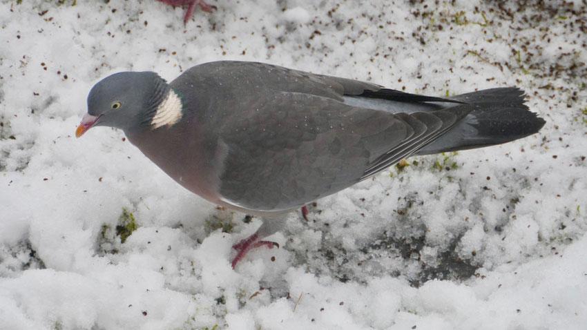 Woodpigeon - Houtduif - Ringeltaube - Ringduva - Columba palumbus