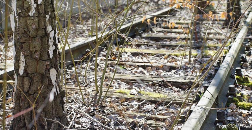 die Birken haben schon vor Jahren die Gleise erobert