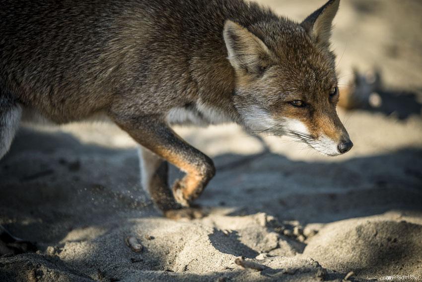 der nicht so wilde Fuchs der Maremma