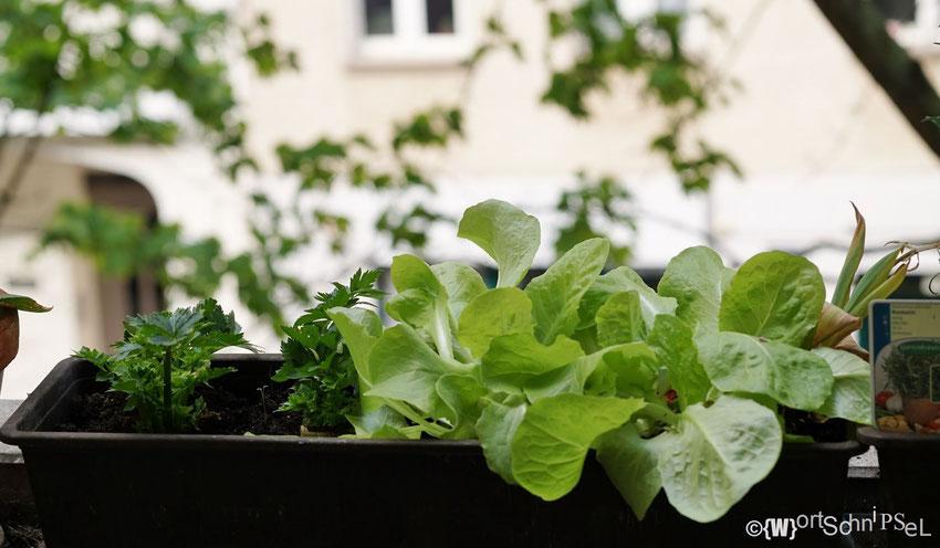 der Salat wuchert