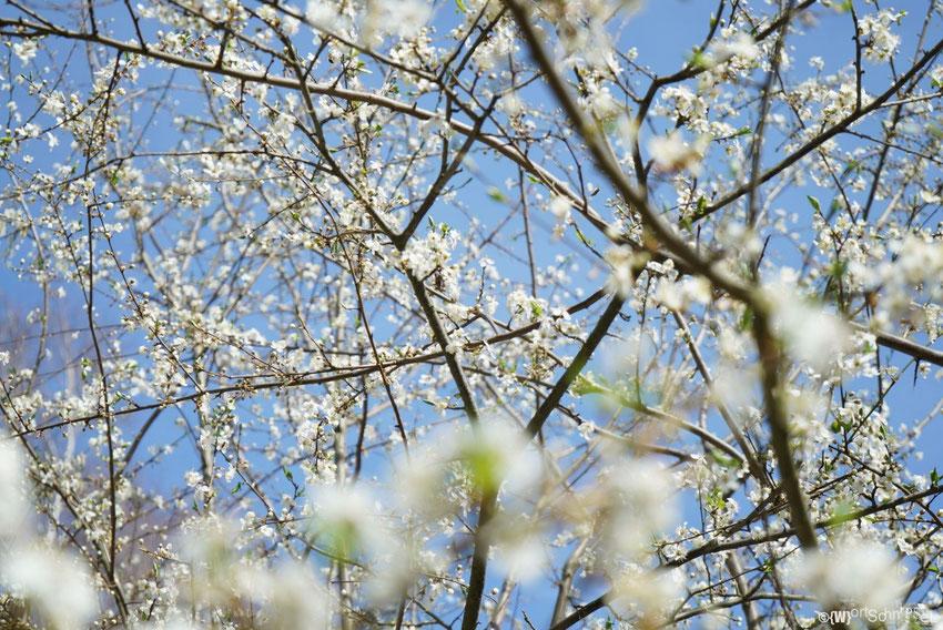 leider nicht zu erkennen, aber in den Ästen sind gefühlt tausende von fleißigen Bienchen rumgeflogen