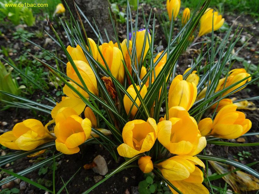 crocus jaune en fin d'hiver