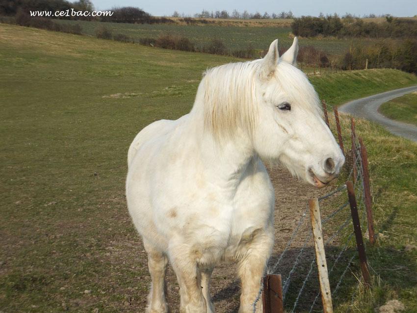 C'était un petit cheval blanc