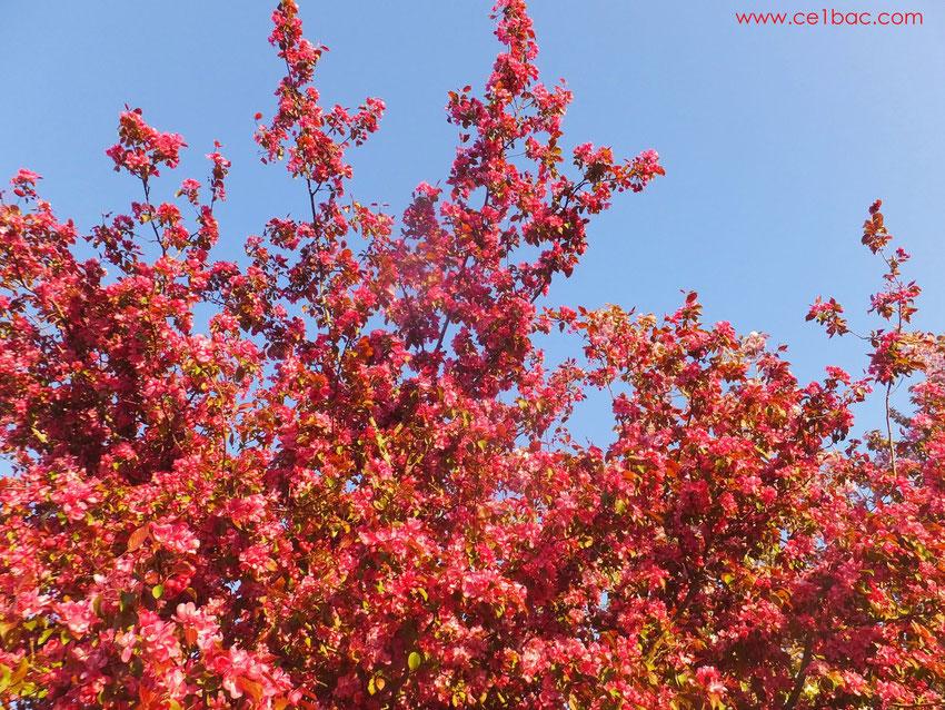 arbre fleuri en avril