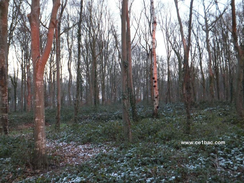 coucher de soleil dans les bois en hiver