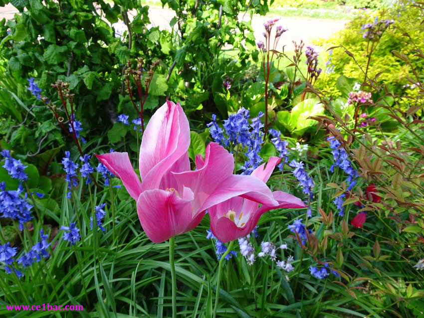 Tulipes roses, clochettes bleues et blanches